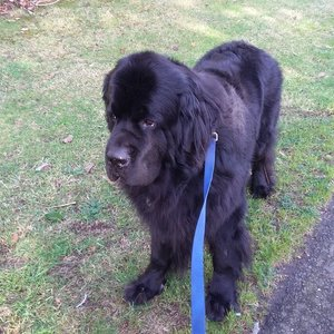 Newfie Burien Dog Walker