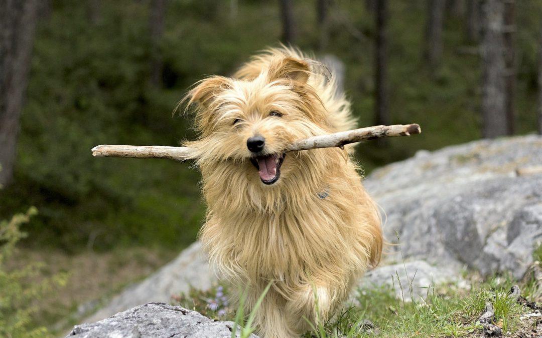 Professional Dog Walkers vs App